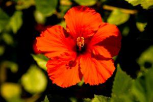 Orange Hawaiian Hibiscus - Amelia Painter Photography
