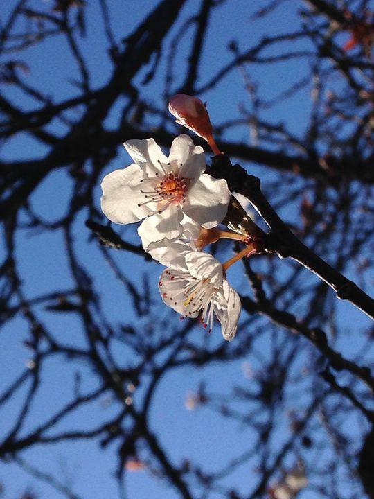 First Buds of Spring (MAK) - MAK