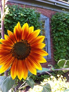 Portsmouth Sunflowers