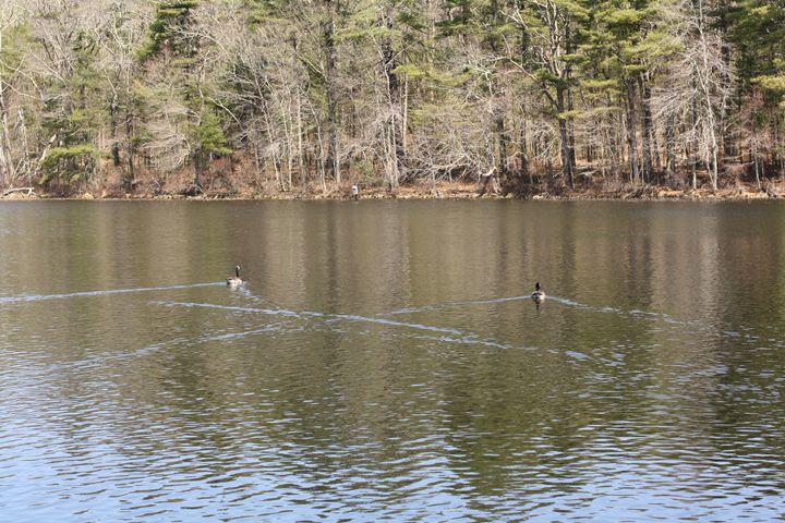geese on a pond - Elizabeth Manning