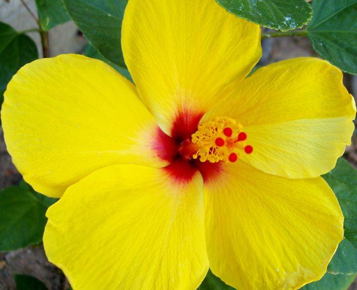 Yellow Hibiscus - RobinsArt