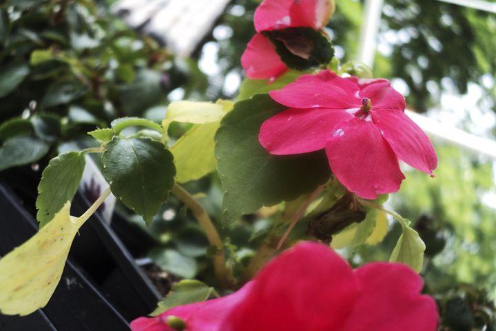Pink Flower - AmandaSmentCreations