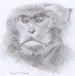 Formosan Macaque
