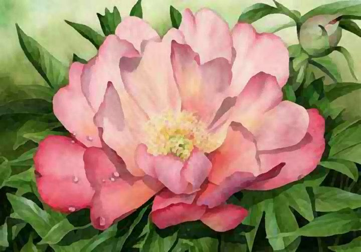 Peony Julia Rose - Blackwater Studio