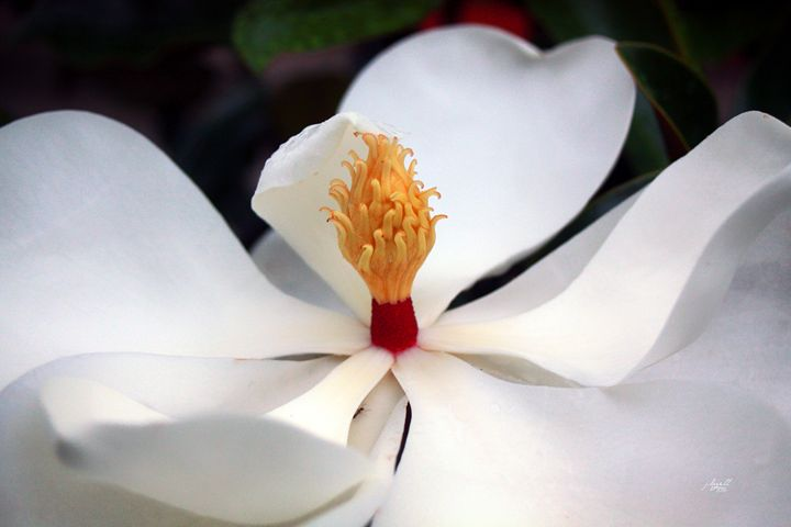 Magnolia 4 - j.lazell