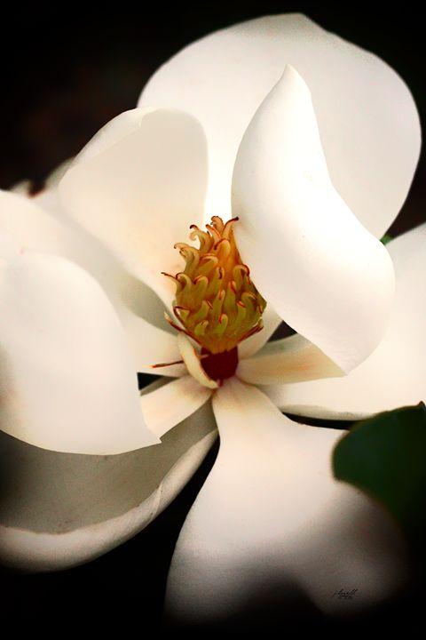 Magnolia 8 - j.lazell