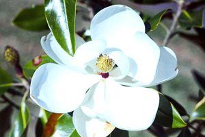Magnolia 17-006 - j.lazell