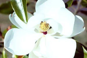 Magnolia 17-007 - j.lazell