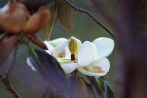 Magnolia 17-009 - j.lazell