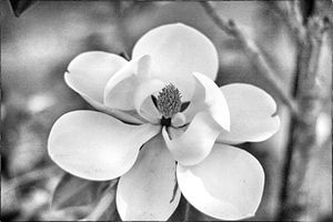Magnolia 17-010 Black and White - j.lazell