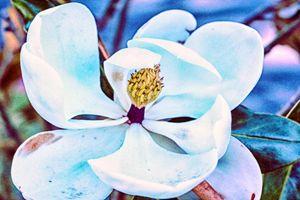Magnolia 17-020 - j.lazell