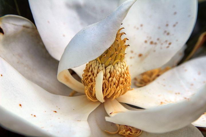 Last Magnolia of 2017 - j.lazell