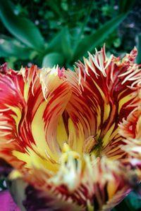 Colorful tulip - Magicbelka