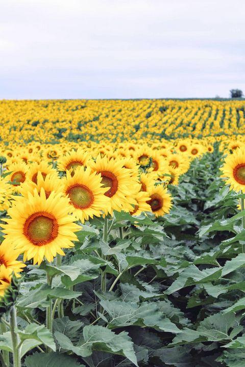 Field of Sunflowers - hailie hanson