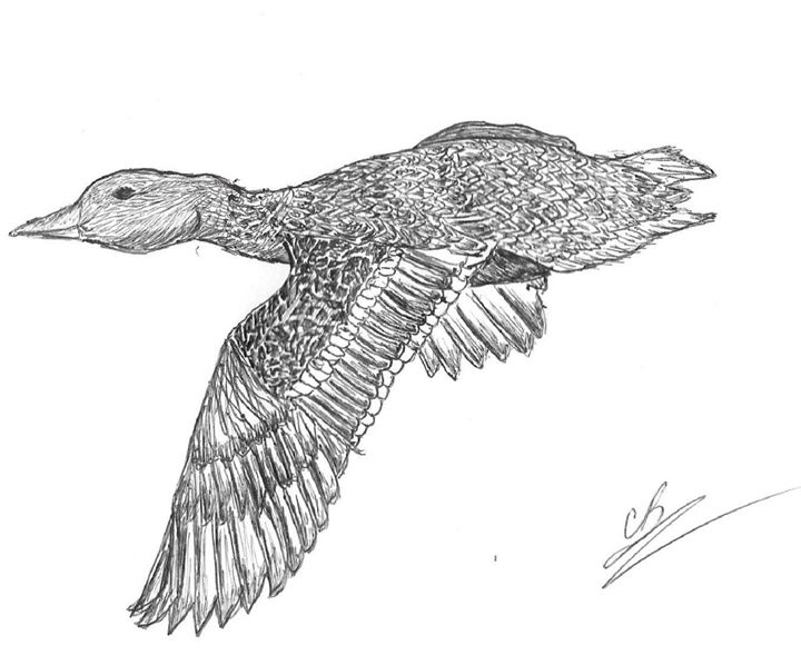 Mallard In Flight - LoveSketches