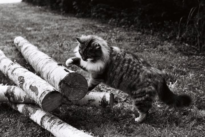 maine coon on tree - Johan Chapsak