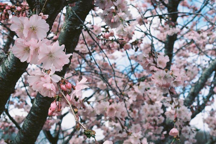 cherry flower - Johan Chapsak