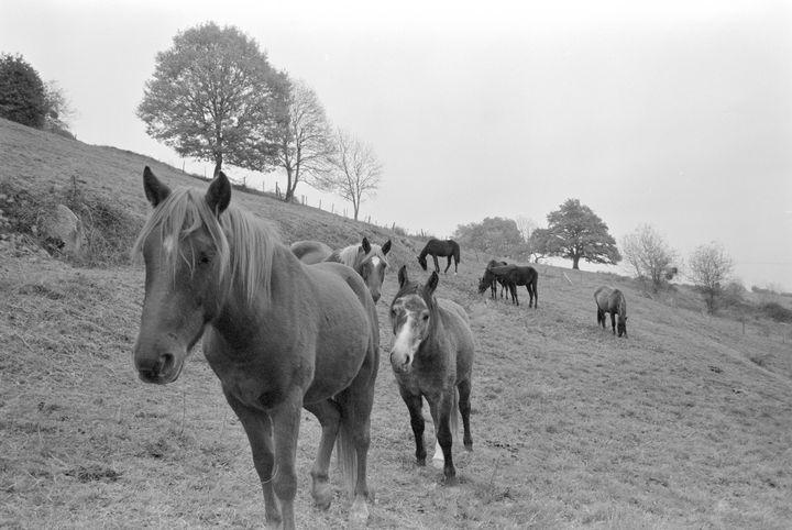 horse band - Johan Chapsak