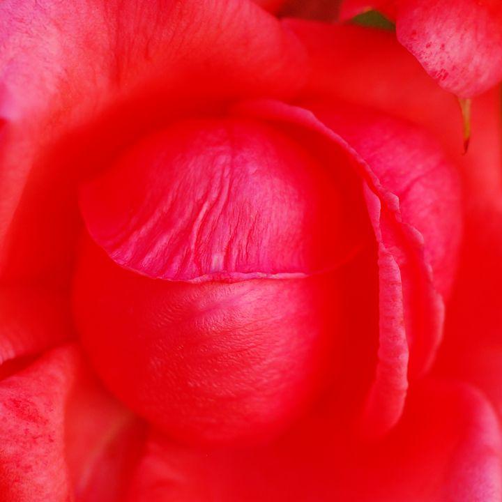 rose head - Cristina Pascu