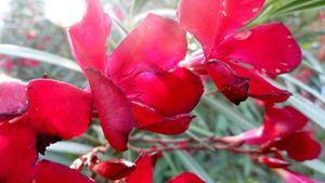 Red Flowers in the Sun