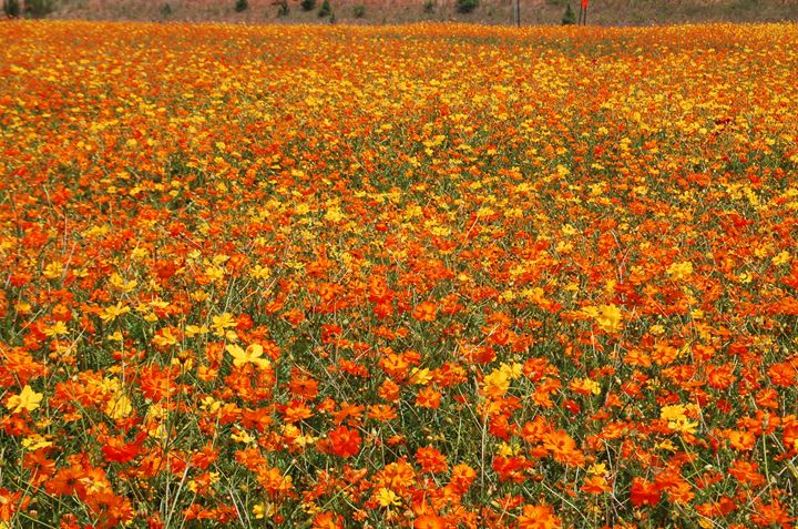Flowered Field - Cornerstone Images Photography