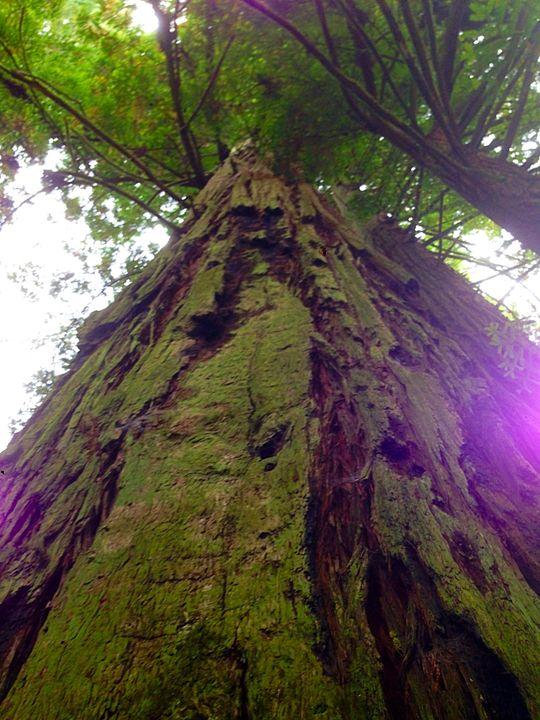 Redwood Trees - Ann Smith