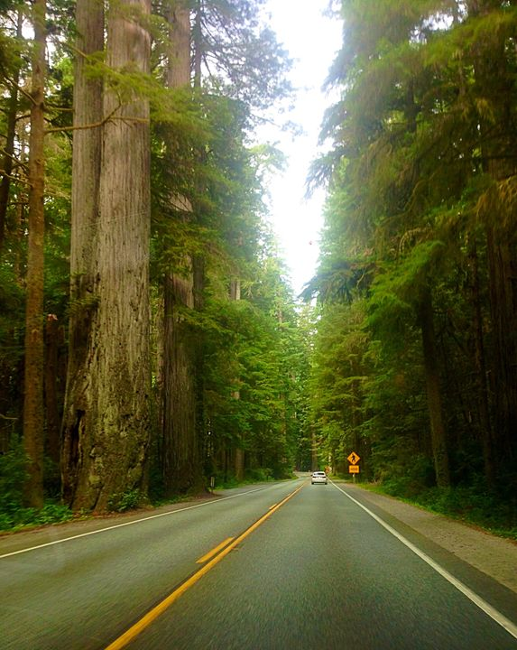 Redwoods - Ann Smith