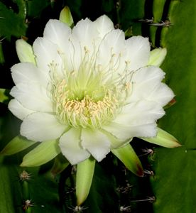 Nightblooming Cactus