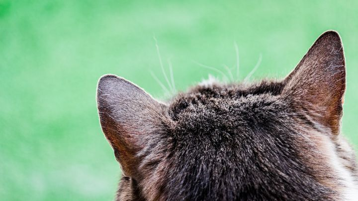 Cat portrait from behind - Vlad Negru