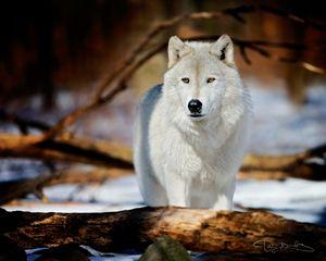 WOLF #1 - DAN BARBA
