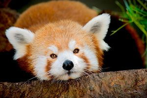 SMALL RED PANDA BEAR - DAN BARBA