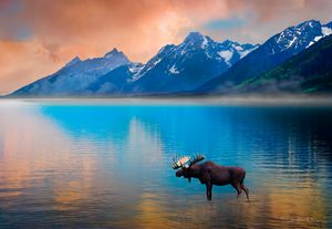 Moose In Lake With Grand Tetons