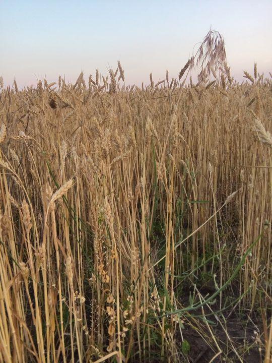 fields to feed - ElfElfen