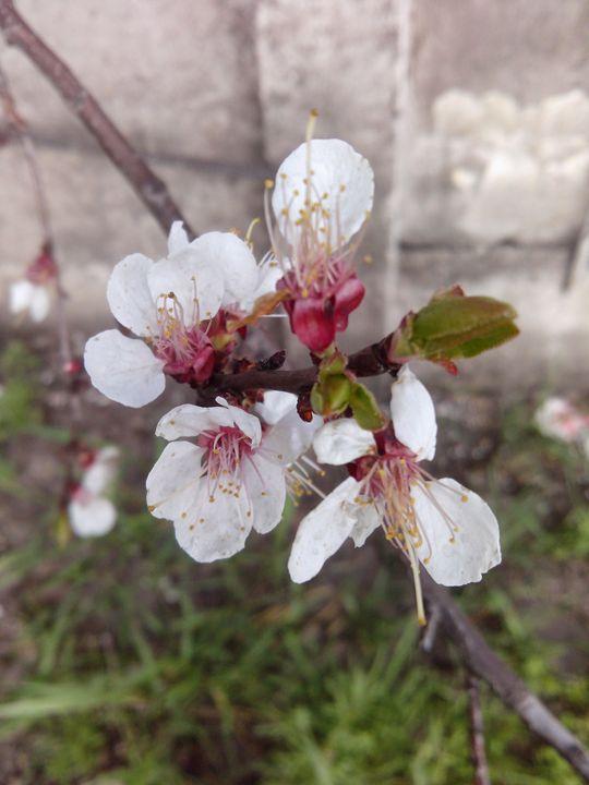 In bloom - ElfElfen