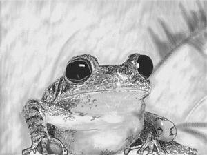 Frog pencil drawing