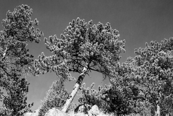 Sky tree Colorado - Catt McGonigle