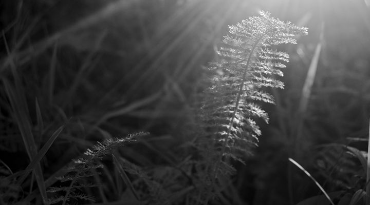 Morning Fern - PhilabaumPhotograghy