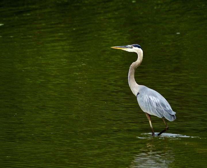 Great Blue Heron - PhilabaumPhotograghy