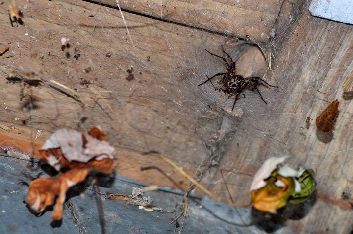 Wolf Spider - PhilabaumPhotograghy