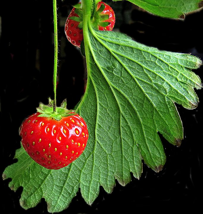 strawberries - Gallery Florette