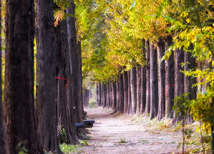 metasequoia road haneul park in fall - Aaron Choi Photography