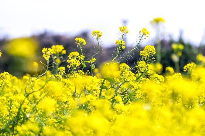canola flower field in jeju island c - Aaron Choi Photography