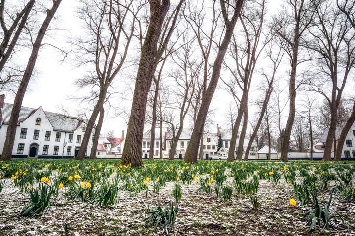 Bruges daffodils - Aaron Choi Photography