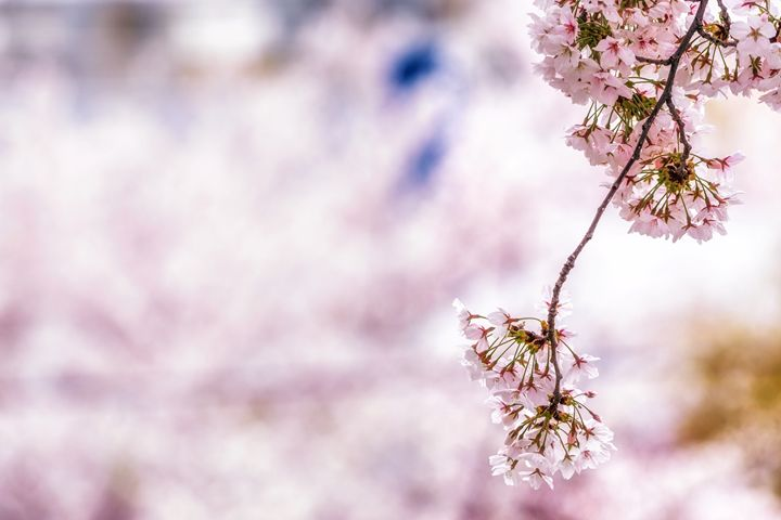 Hanging cherry blossoms - Aaron Choi Photography