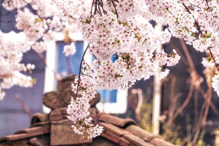cherry blossom season - Aaron Choi Photography