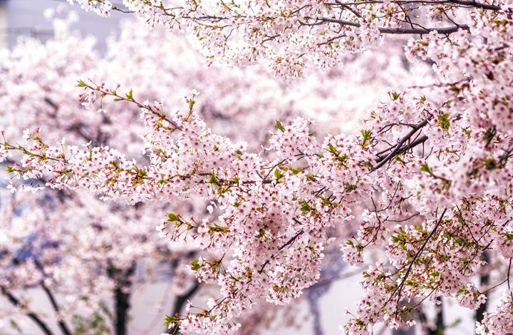 Burst of Spring - Aaron Choi Photography