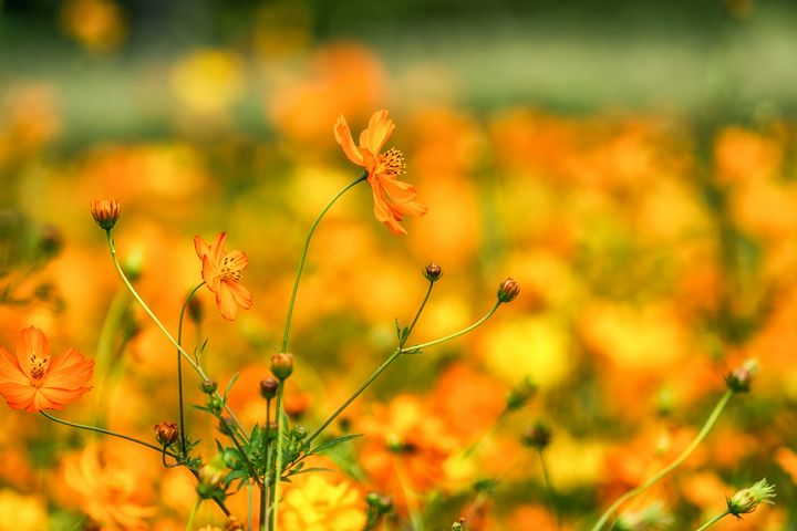Orange colored cosmos - Aaron Choi Photography