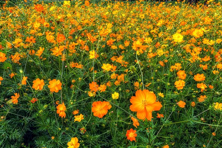 orange cosmos flowers - Aaron Choi Photography