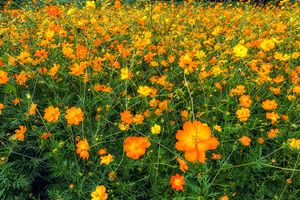 orange cosmos flowers
