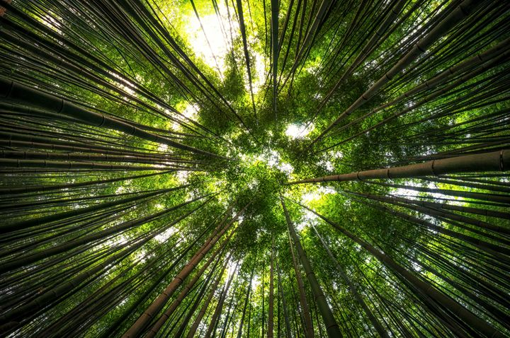 Looking up the Bamboo Forest - Aaron Choi Photography